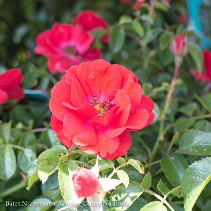 #2 Rosa Flower Carpet Scarlet/Rose NO WARRANTY