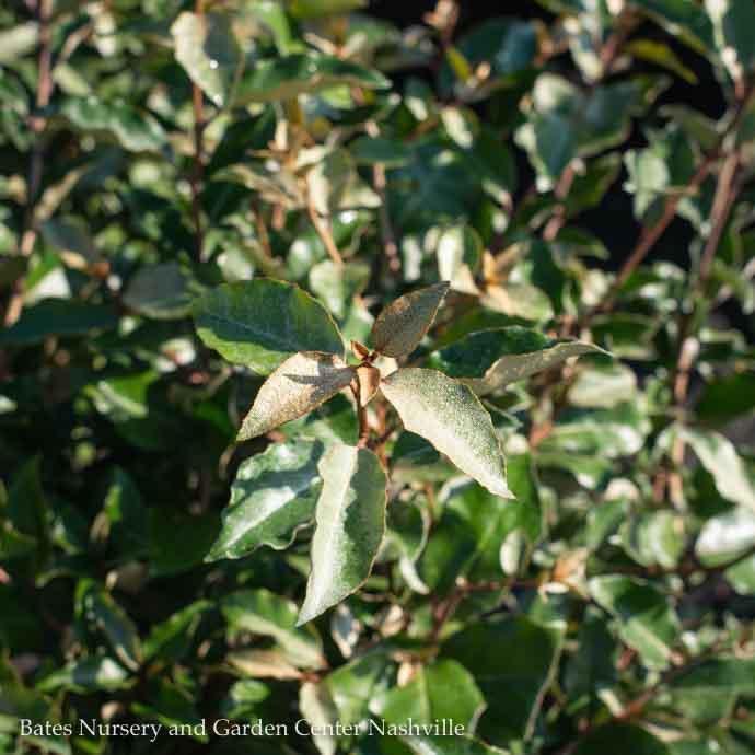 #3 Elaeagnus x Ebbingei/Silverberry