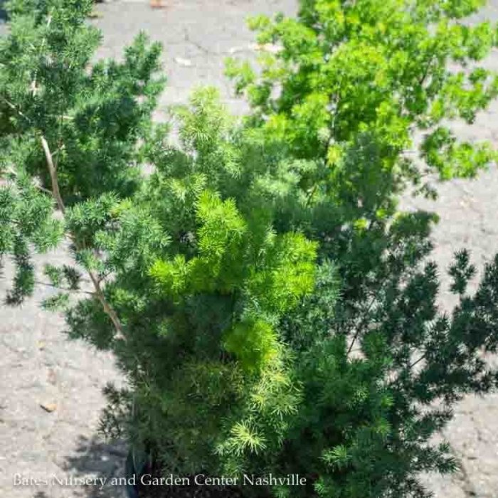Tropical #3 Ming Asparagus Fern