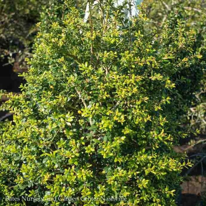Topiary #5 Ilex cre Low Rider/Japanese Holly Pyramid