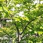 #6 Parrotia persica Persian Lace/Persian Ironwood