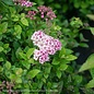 #2 Spiraea j Little Princess/Rose-pink