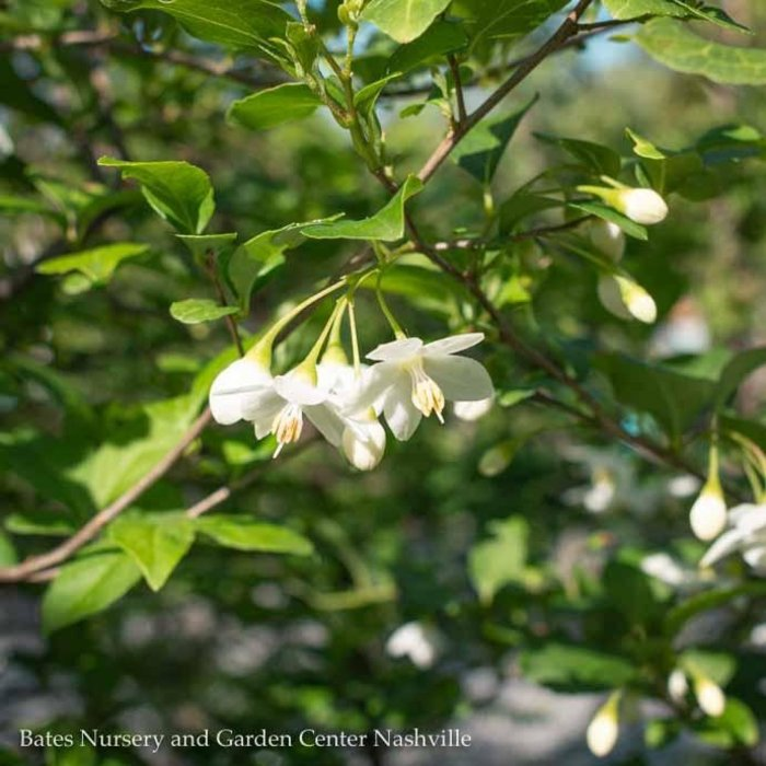 #7 Styrax japonicus/Japanese Snowbell