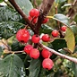 #30 Ilex opaca Satyr Hill/American Holly