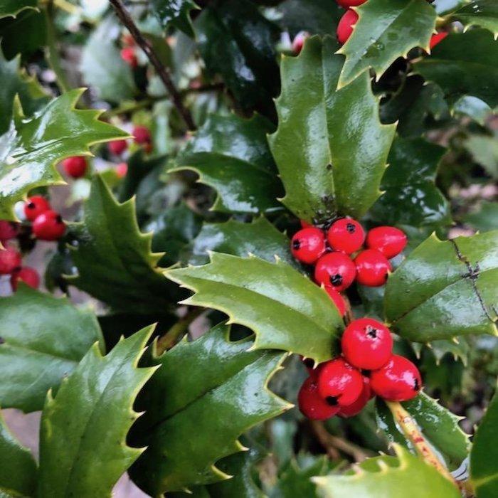 #7 Ilex x Magiana/Acadiana Holly Red Hybrid