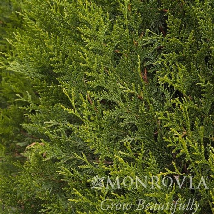 #10 Thuja plicata Green Sport/Arborvitae Pyramidal