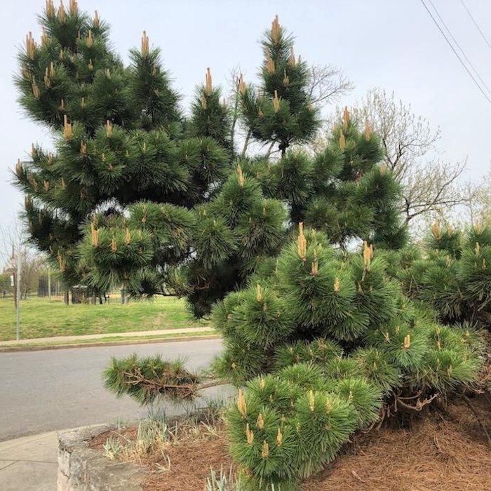 #3 Pinus thunbergii Thunderhead/Japanese Black Pine