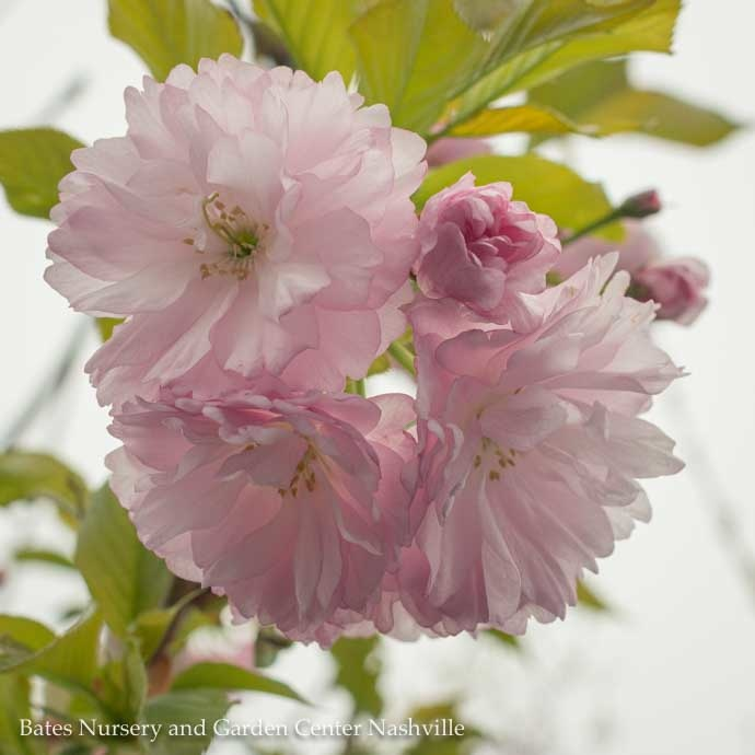 Flowering Cherry (Prunus)