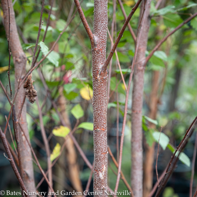 River Birch (Betula)