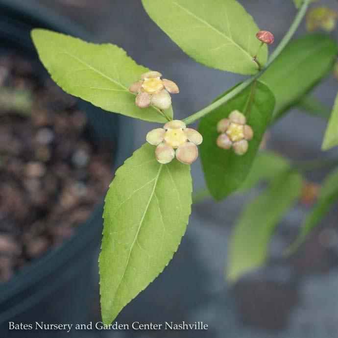 #3 Euonymous americanus/Strawberry Bush Native Hearts-a-Bustin