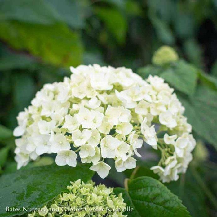 QP Hydrangea arb Annabelle/Smooth White