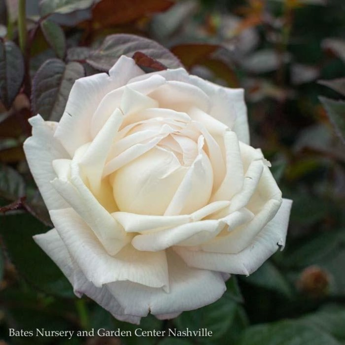 #2 Rosa Best Kept Secret/Hybrid Tea Rose No Warranty