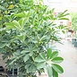 14p! Schefflera Arboricola STD / Umbrella Plant /Tropical