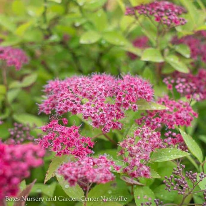 #3s Spiraea Double Play Red