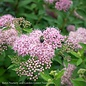 #3 Spiraea j Shirobana/White, Pink & Red