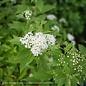 #2 Spiraea x Yeti/White Flowers