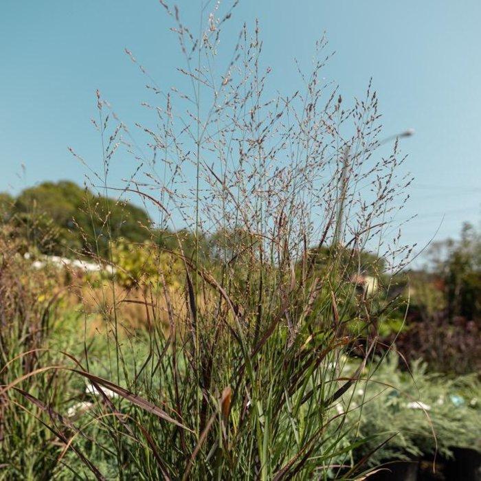 #2 Grass Panicum virg Prairie Winds Cheyenne Sky/Switch