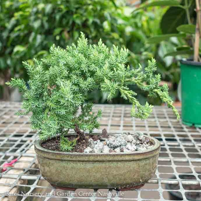6p Bonsai Plant Assorted Styles Tropical Bates Nursery And Garden Center