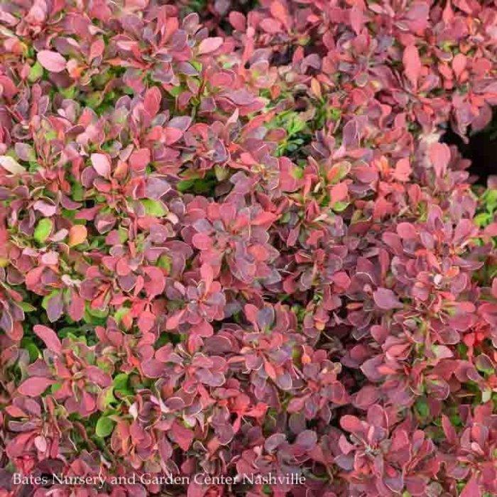 #1 Berberis thun Crimson Pygmy/ Dwarf Barberry