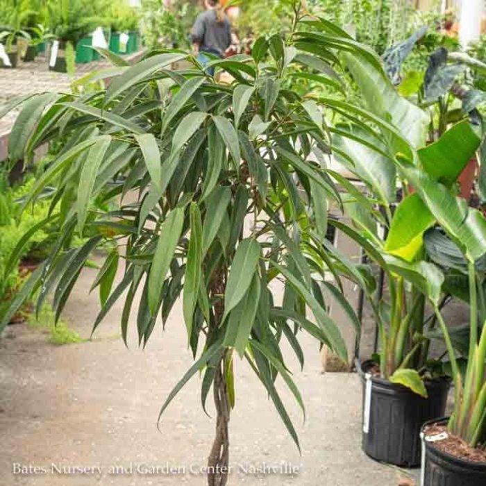 10p! Ficus Alii Braid /Tropical