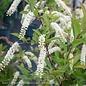 #5 Itea virginica Henrys Garnet/Virginia Sweetspire