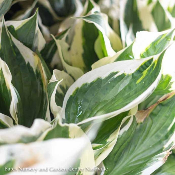 #1 Hosta x 'Minuteman'/Green Edged White