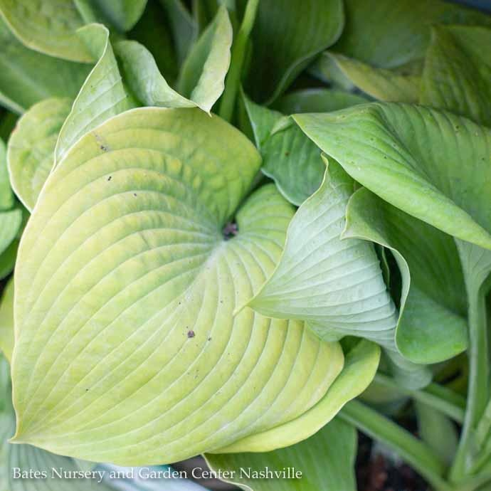 #1 Hosta Rosedale Golden Goose