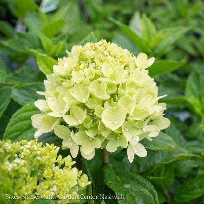 #7 Hydrangea pan Little Lime/Panicle White