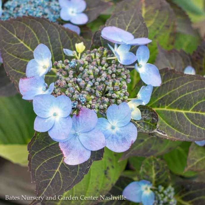 #2 Hydrangea mac Seaside Serenade Outer Banks/Bigleaf/Mophead
