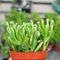 4p! Crassula Jade Gollum / Jade Plant /Tropical