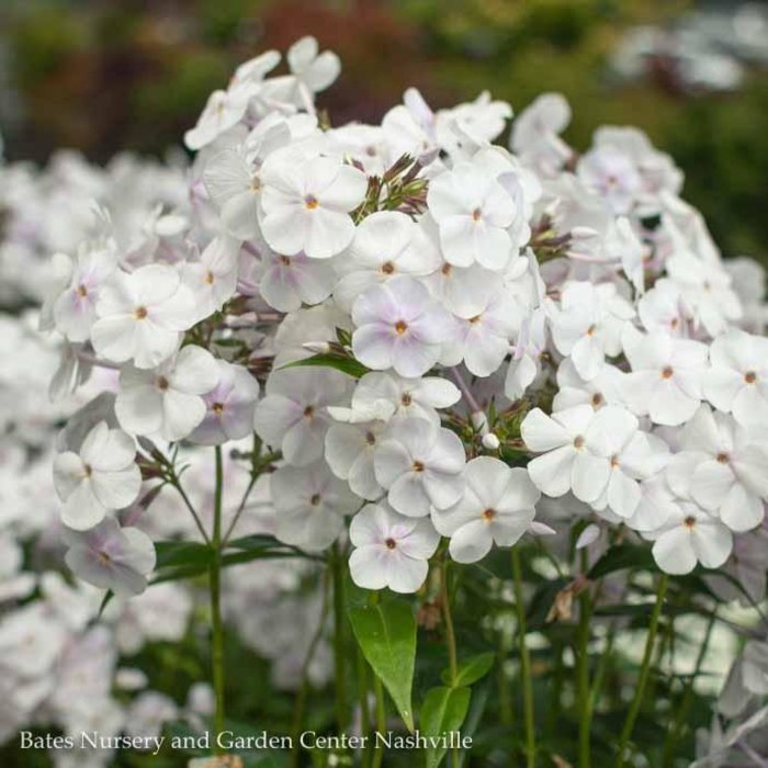 #1 Phlox pan Fashionably Early Crystal
