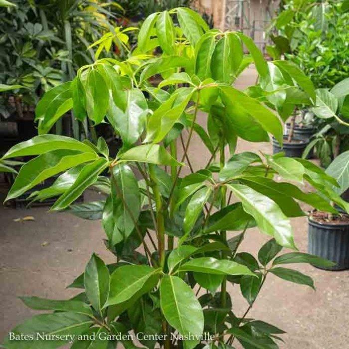 10p! Schefflera Amate / Umbrella Plant /Tropical