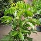 14p! Schefflera Amate / Umbrella Plant /Tropical
