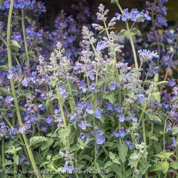 QP Nepeta x f Walkers Low/Catmint