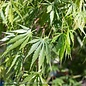 #6 Acer pal Omure yama/Japanese Maple Green Upright
