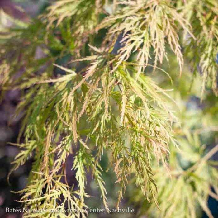 #15 Acer pal var diss Viridis/Japanese Maple Green Weeping
