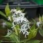 #1 Amsonia taber. Starstruck/Compact Bluestar Flower