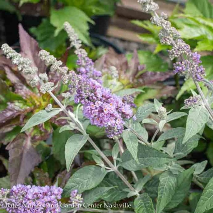 #3 Buddleia Humdinger Lavender Cupcake/Compact Butterfly Bush