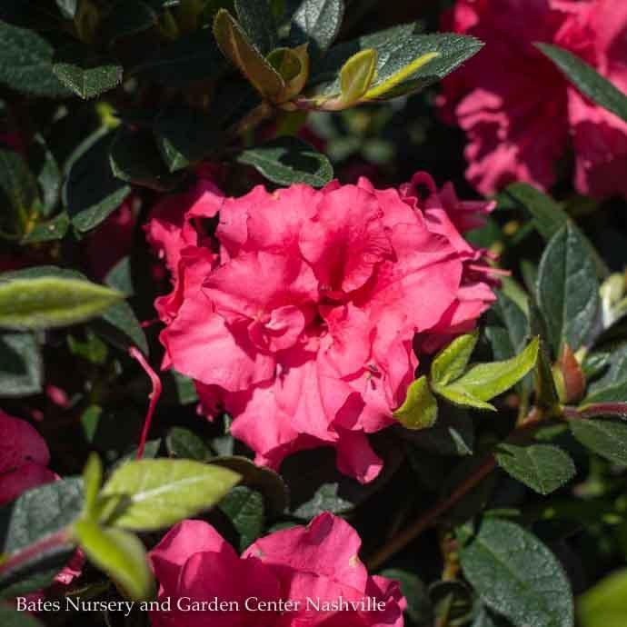 #2 Azalea Encore Autumn Rouge/Repeat/pinkish purple