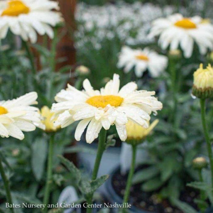 #1 Leucanthemum Banana Cream/Shasta Daisy