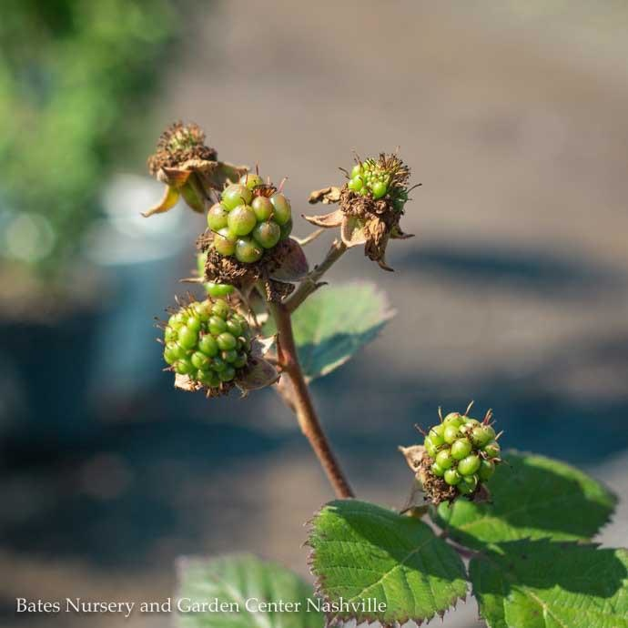 Edible #1 Rubus Triple Crown/Thornless Blackberry