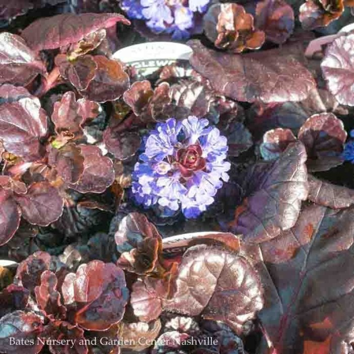 #1 Ajuga Black Scallop