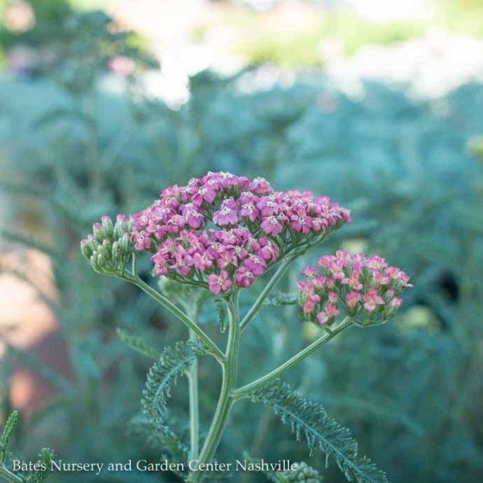 #1 Achillea Summer Pastels/Yarrow