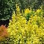 8P Berberis thun Sunjoy Gold Pillar/Barberry