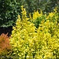 #2s Berberis thun Sunjoy Gold Pillar/Barberry