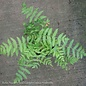 #1 Osmunda cinnamomea/Cinnamon Fern Native