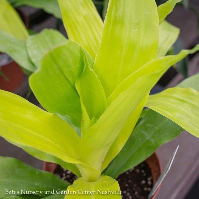 10p! Dracaena Limelight /Tropical