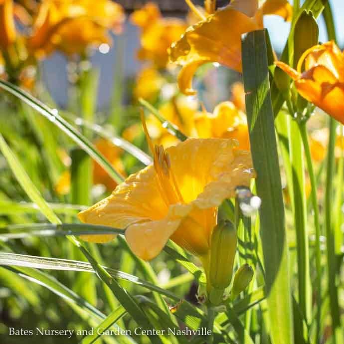 #1 Hemerocallis x Stella de Oro/Daylily Repeat Yellow