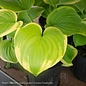 #1 Hosta Fragrant Bouquet