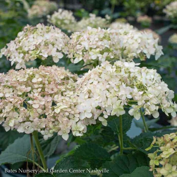 #3 Hydrangea arb Invincibelle Wee White/Smooth White (Annabelle Type)